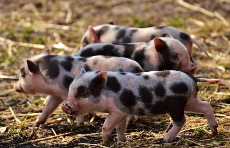Who is looking after your homestead while you're away? Who will feed those pigs for you?
