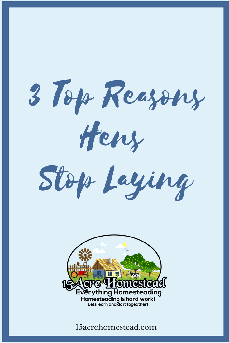 There are many reasons for your hens to stop laying. Here are the top 3.