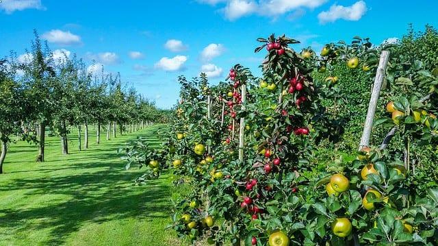 grow apple trees