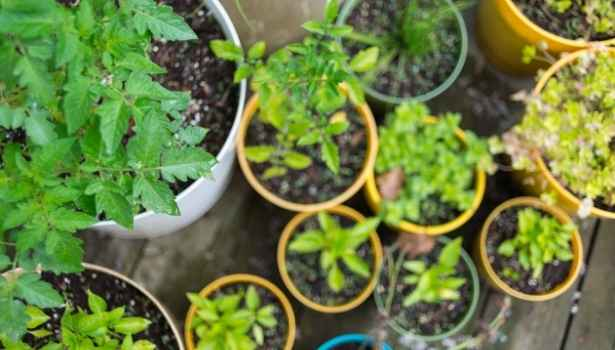 A container garden of herbs on a balcony.