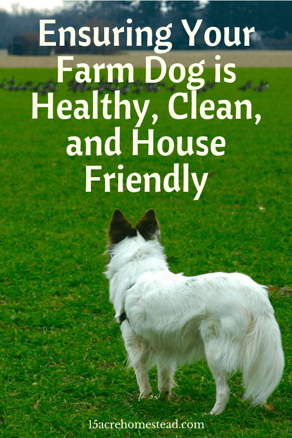 Keeping your farm dog healthy and clean is important. Here are some tips to maintaining your homestead dog's health and maintenance.