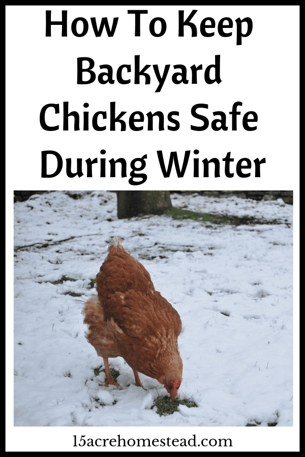 Keeping backyard chickens in winter is easy if you follow the following tips.