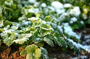 spring garden-frosted plants
