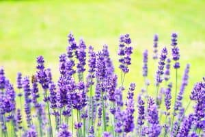 top 3 things to grow on your homestead- lavendar