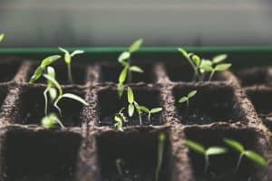 spring garden seedlings started indoors