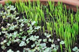 top 3 things to grow on your homestead- microgreens