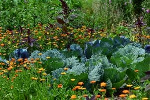 spring garden marigolds