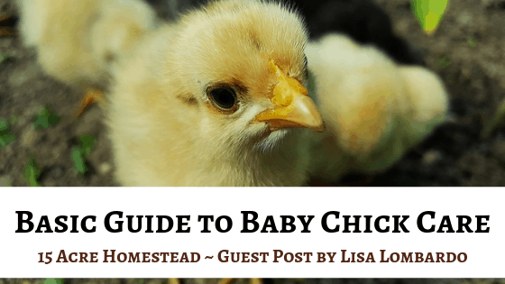 Basic Guide to Baby Chick Care