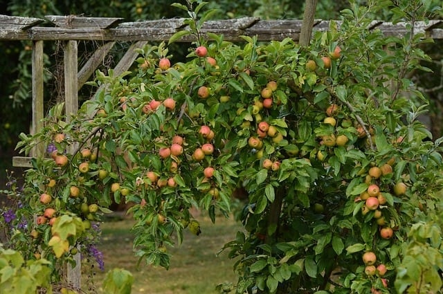 An apple tree in a potager garden