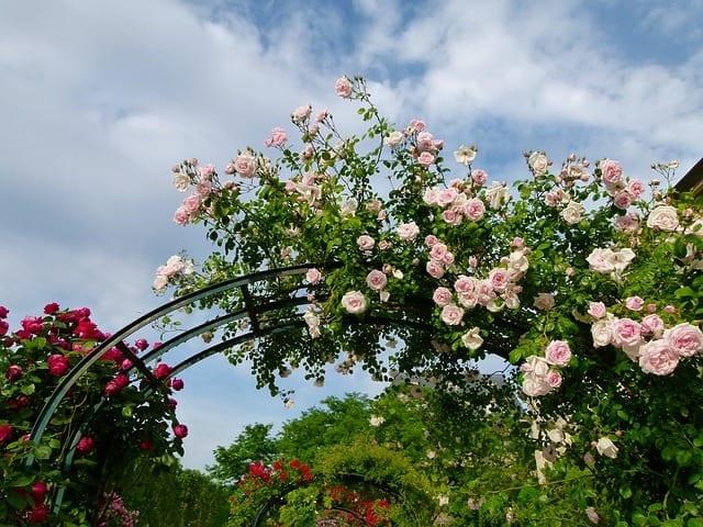 A potager garden with a trellis for roses