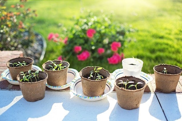 Seedlings being hardened off outside in pots.