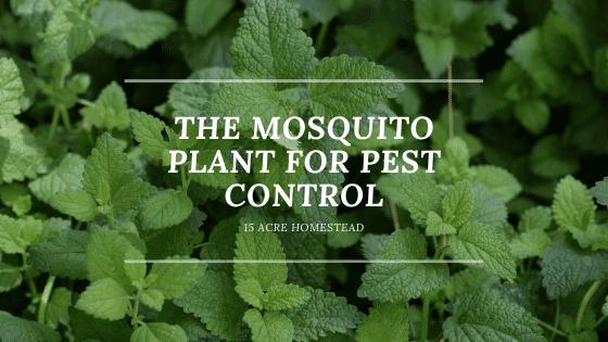 mosquito plant