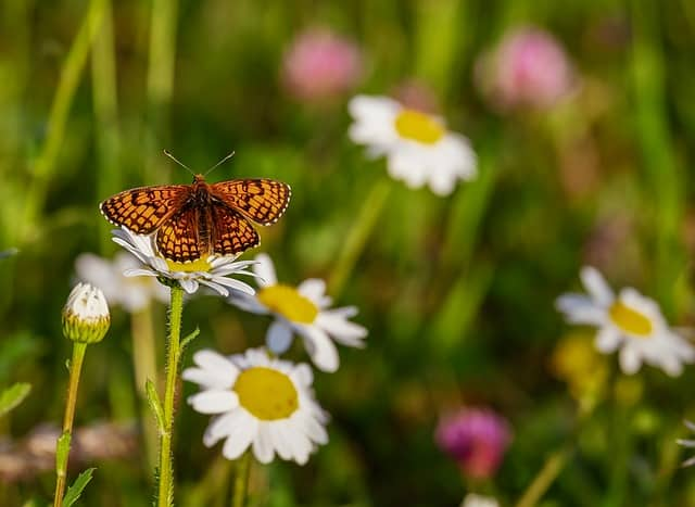 A butterfly on the daisies