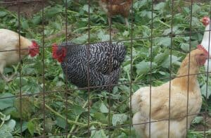 3 chickens in a cage