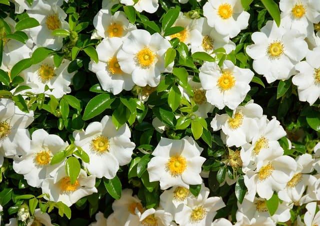 Gardenias are part of a beautiful garden