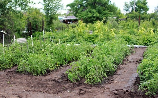tomato plants in a vegetable garden