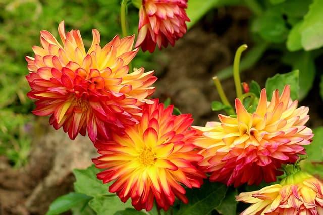 dahlias are part of a beautiful garden