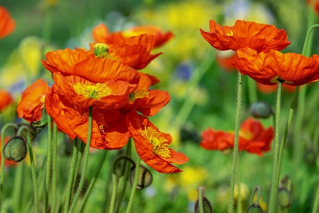 poppies are part of a beautiful garden