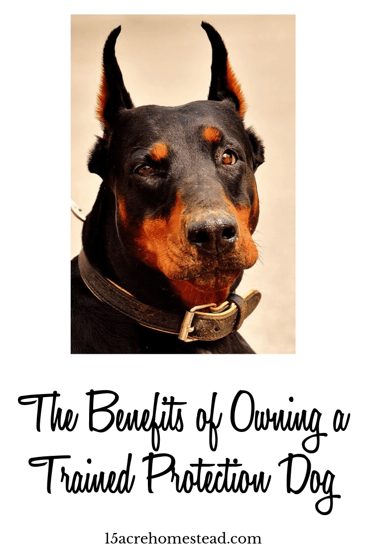 Owning a trained protection dog is a big help for the security of your homestead. Learn everything you need to know about getting the right dog and where to find one.