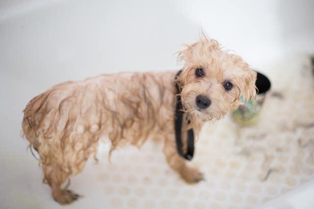 Wet dog after a bath