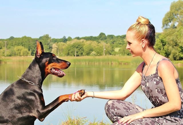 Doberman sitting and giving it's paw to its owner