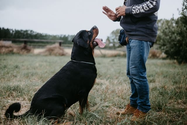 Rottweiller being trained by owner