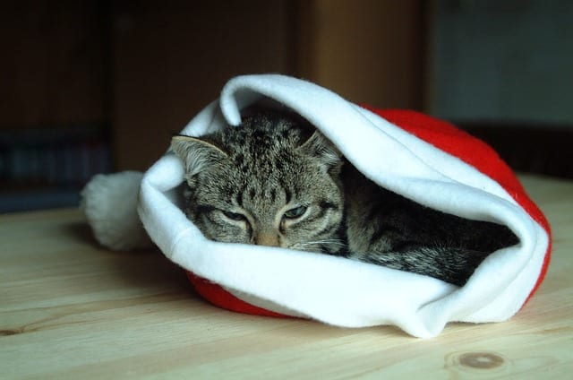 Christmas gifts for homestead animals should include gifts for cats too.