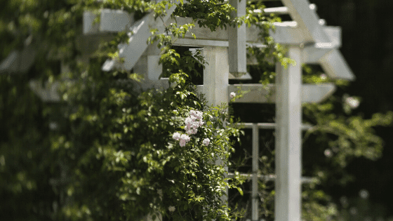 Roses growing on a pergola