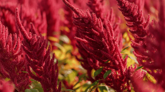 Amaranth can be used as one of the perennials for the bush layer.
