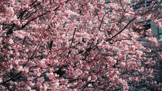 Canopy Layer Cherry Tree