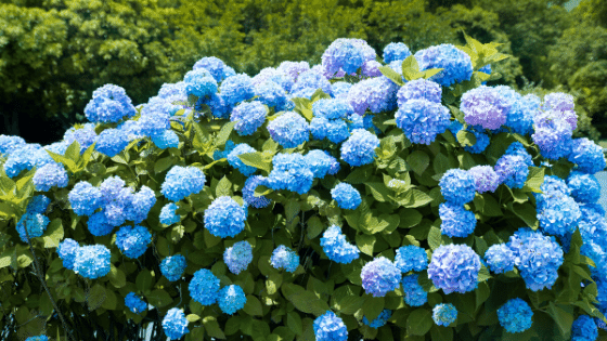 Hydrangeas are the newest trend color.
