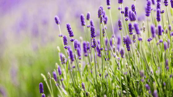 Lavendar is a common herb in an edible herb garden.