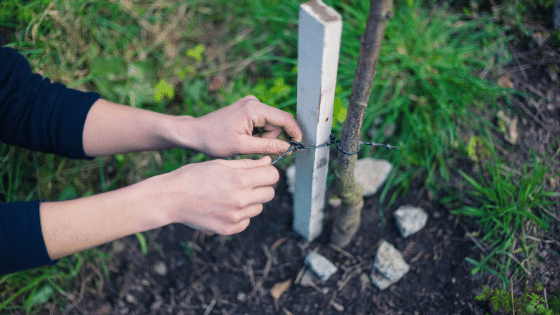 staking a newly planted tree