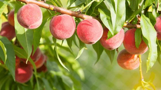 peach tree for the sub canopy