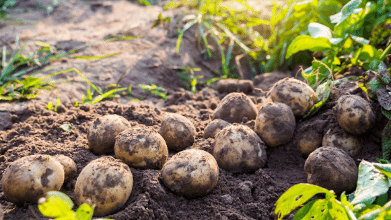 Potatoes are perennials meant for the root layer.