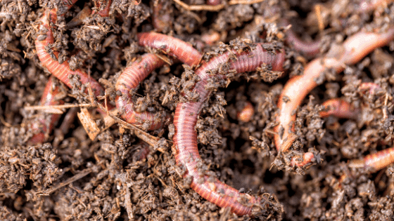 Red Wigglers are typically used for vermicomposting