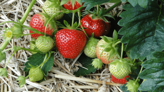 Strawberry plants are common ground covers in an edible food forest.