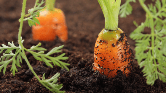 top dressing your plants and vegetables