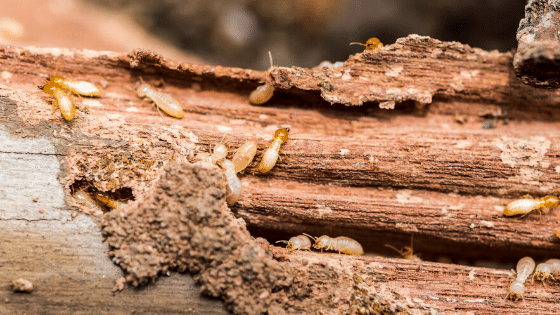 Termites eating a log