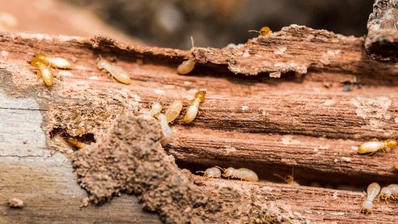 Termites eating a log