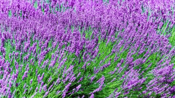 lavender will improve your sleep