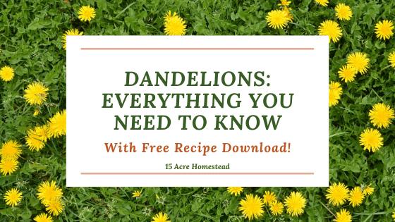 Dandelions feature image