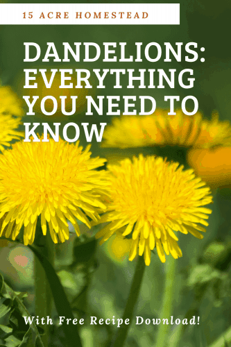 """Interested in dandelions? I bet you didn't know all the many uses this """"formerly known weed"""" now turned superfood has to offer! Get your free recipes too!"""