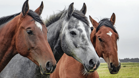 Horses are a great example of the health benefits of pets on the homestead.