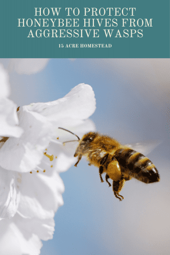 There are steps to take to protect your honeybee hives, allow positive pollinators like non-aggressive wasps to exist and help pollinate your tomatoes and fruit trees, and eliminate the aggressive waps that are fatal to your furry bees.