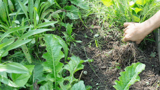 Puling the weeds is the first step to prepare your yard for summer