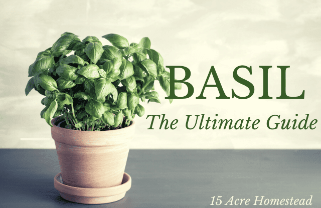 Here is everything you need to know about basil, from its origin to growing and caring, to harvesting and storing. Even some recipes too!