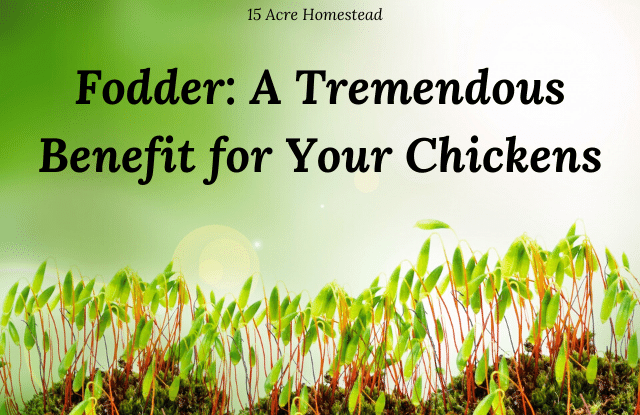 Learn what fodder is and why it so beneficial for your chickens and your homesteading budget.