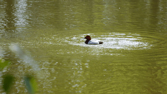 Duck in the lake
