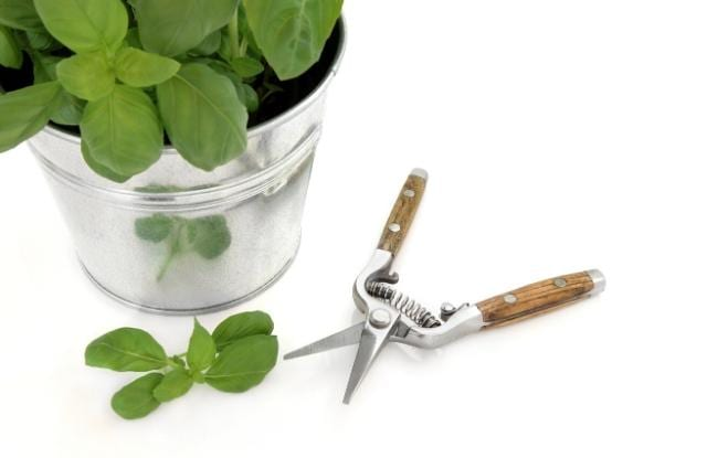 harvesting the herbs leaves